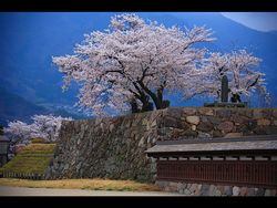 2010-03-1siro.sakura